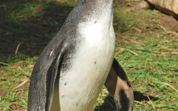 Tevas the Goleta Calif based brand latest project was a custom-made boot for a handicapped Humboldt penguin at the nearby Santa Barbara Zoo