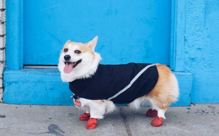 sneakers corgi dog