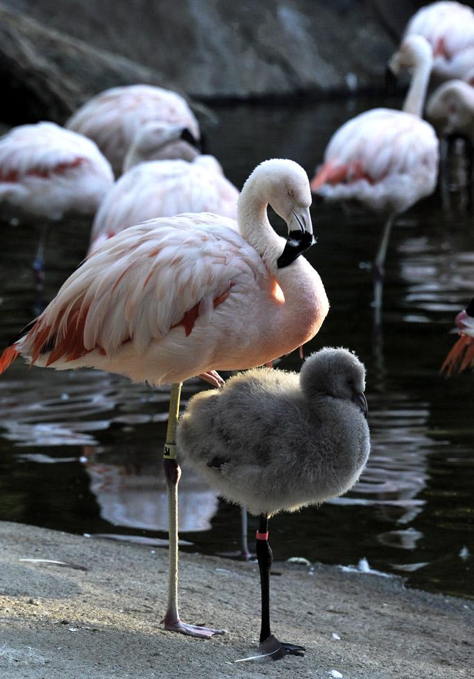 flamingo standing one leg
