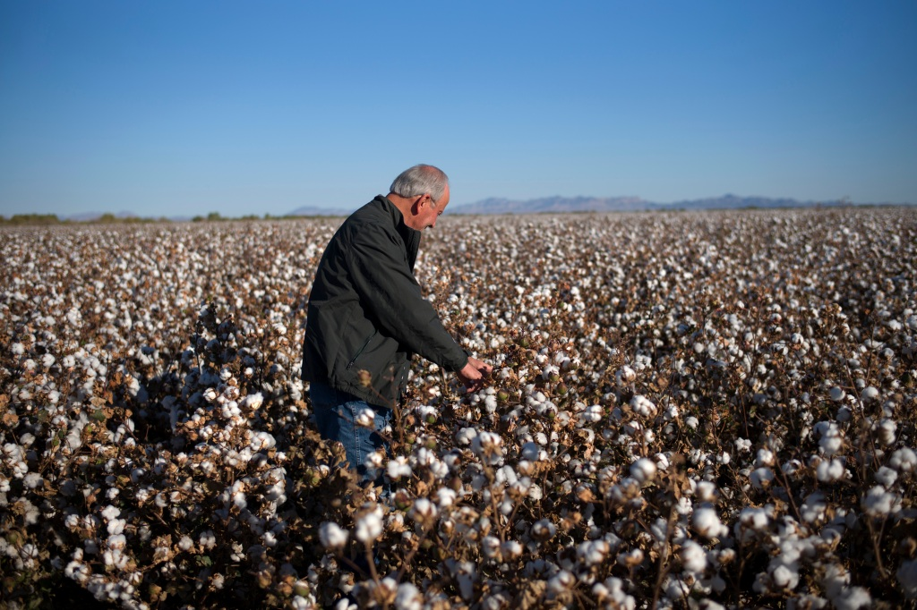 Bart Fisher, farmer and president of the Palo Verde Irrigation District, looks at cotton in his field in California.
