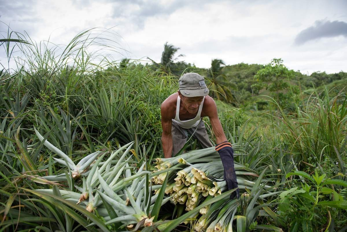 Pinatex Pineapple Leaves are Harvested