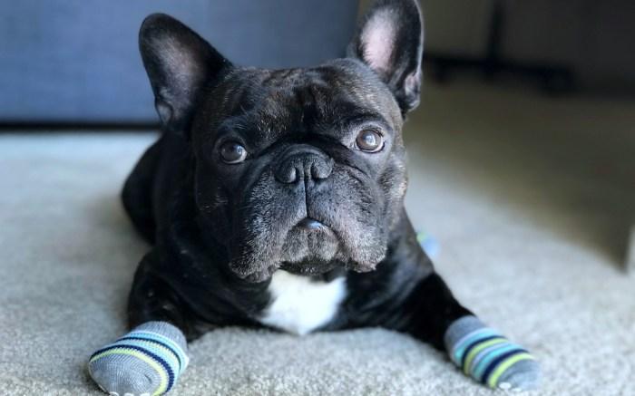 Dog wears socks; Shutterstock ID 1032964006; Usage (Print, Web, Both): web; Issue Date: 4/9