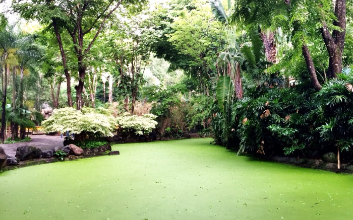 A lake covered with microalgae which is blooming more due to increased pollution